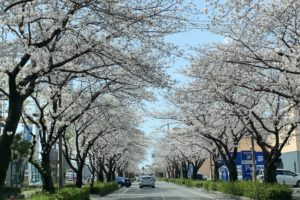平成中央公園の桜(熊本の桜トンネル)